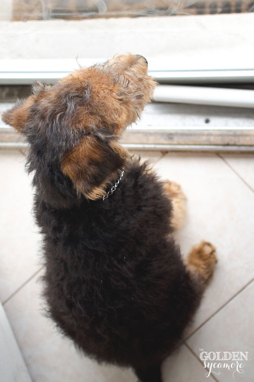 Airedale puppy Charlie looking out front door