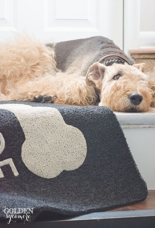 Bailey airedale by back steps