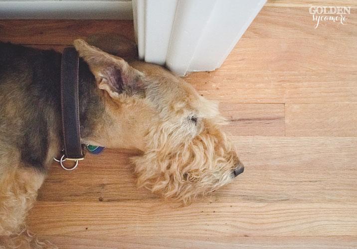 Bailey airedale terrier sleeping in hallway
