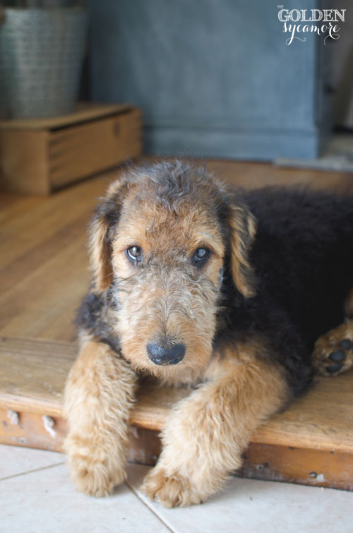 Charlie Airedale Terrier puppy