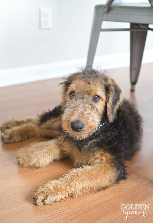 adorable Charlie Airedale Terrier puppy