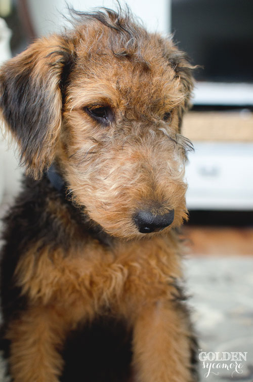 cute Airedale Terrier puppy Charlie