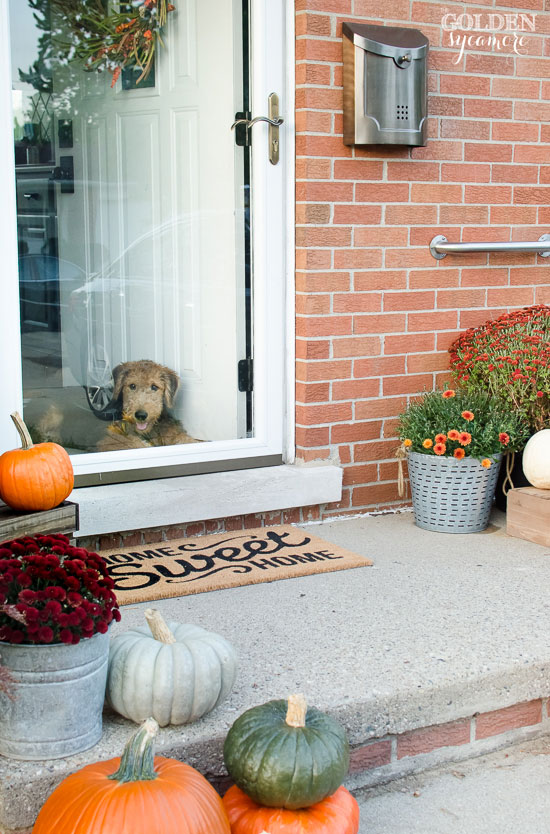 Airedale puppy with fall front porch decor