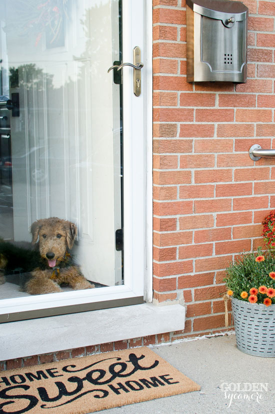 Fall porch decor and Airedale puppy